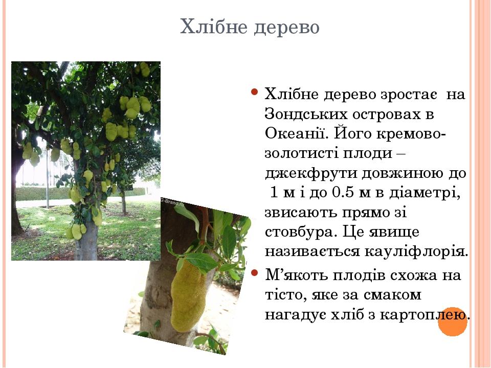Хлібне дерево Хлібне дерево зростає на Зондських островах в Океанії. Його кремово-золотисті плоди – джекфрути довжиною до 1 м і до 0.5 м в діаметрі...