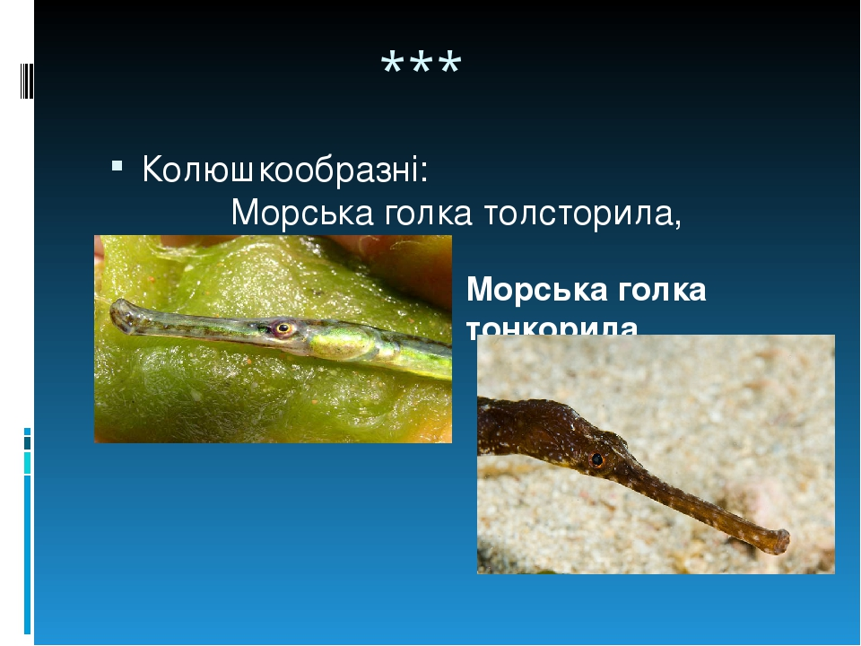 *** Колюшкообразні: Морська голка толсторила, Морська голка тонкорила