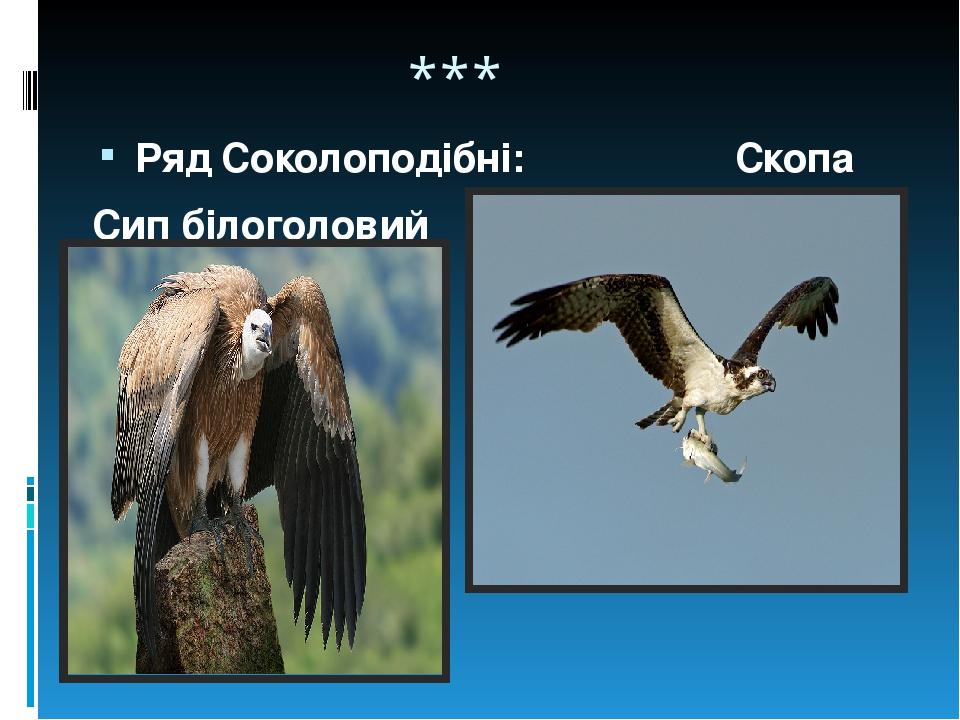 *** Ряд Соколоподібні: Скопа Сип білоголовий