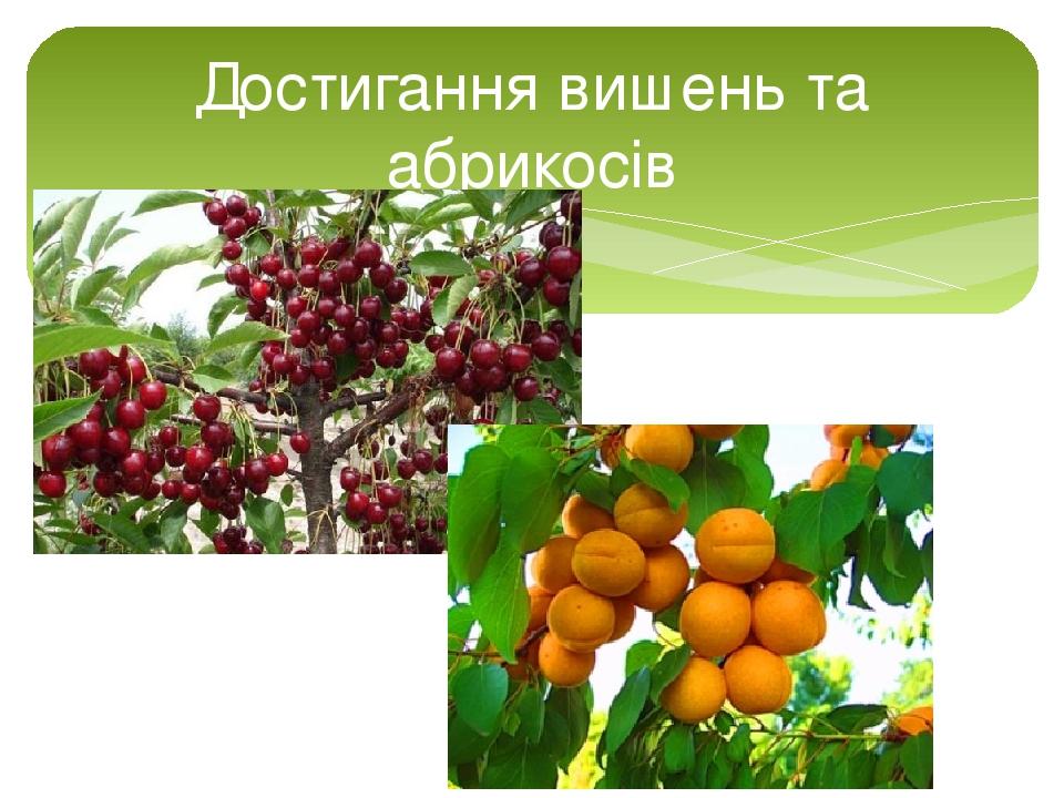 Достигання вишень та абрикосів