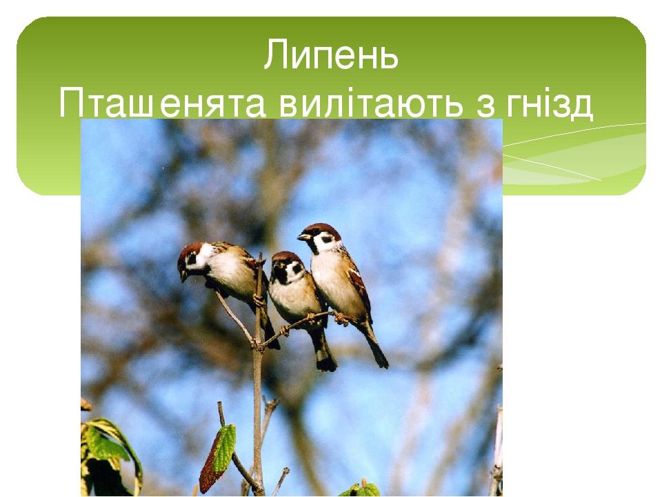 Липень Пташенята вилітають з гнізд