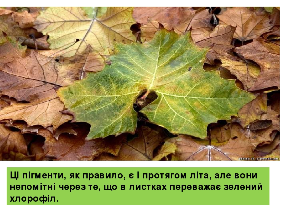 Ці пігменти, як правило, є і протягом літа, але вони непомітні через те, що в листках переважає зелений хлорофіл.