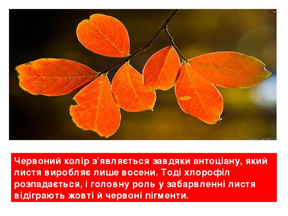 Червоний колір з'являється завдяки антоціану, який листя виробляє лише восени. Тоді хлорофіл розпадається, і головну роль у забарвленні листя відіг...