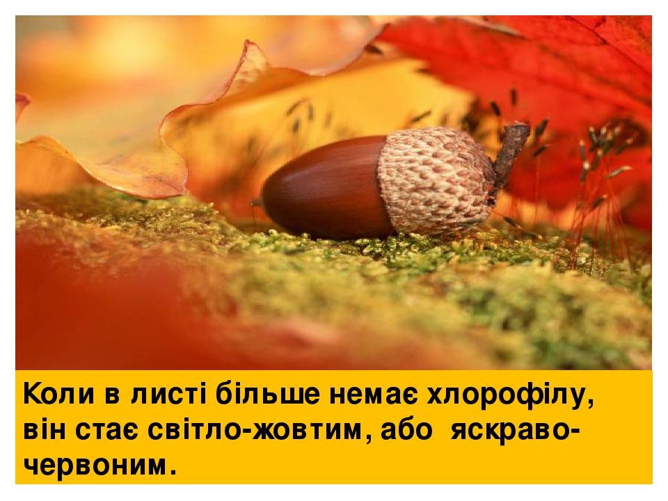 Коли в листі більше немає хлорофілу, він стає світло-жовтим, або яскраво-червоним.