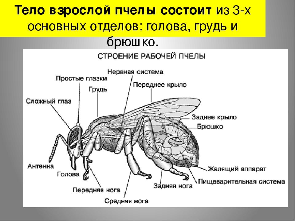 Тело взрослой пчелы состоит из 3-х основных отделов: голова, грудь и брюшко.