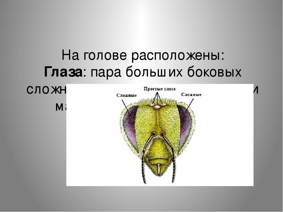 На голове расположены: Глаза: пара больших боковых сложных глаз, а между ними — три маленьких простых глаза.