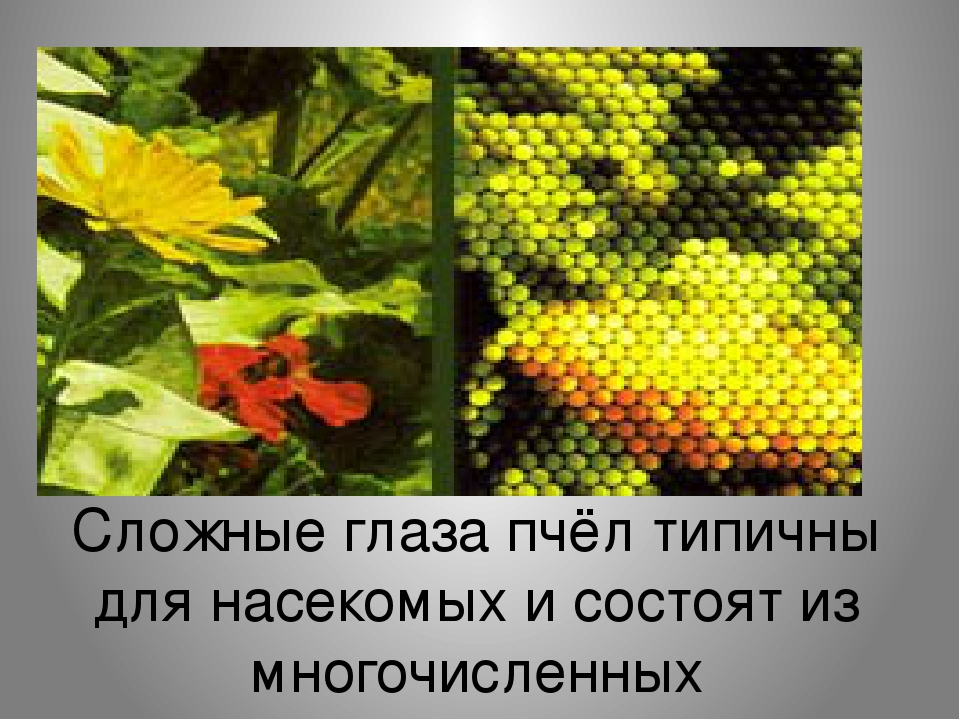 Сложные глаза пчёл типичны для насекомых и состоят из многочисленных функциональных единиц (фасеток), каждая из которых содержит линзу, строящую св...