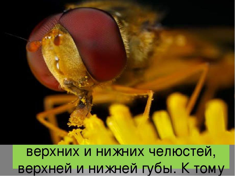 Ротовой аппарат состоит из верхних и нижних челюстей, верхней и нижней губы. К тому же он служит для высасывания нектара, поэтому образует продолго...