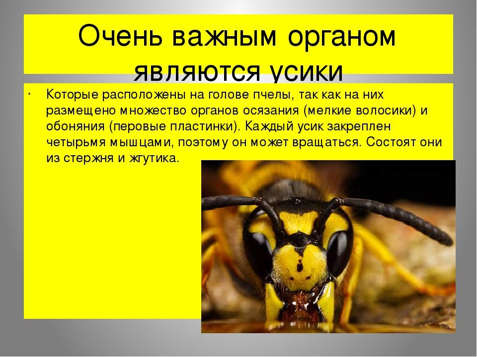 Очень важным органом являются усики Которые расположены на голове пчелы, так как на них размещено множество органов осязания (мелкие волосики) и об...