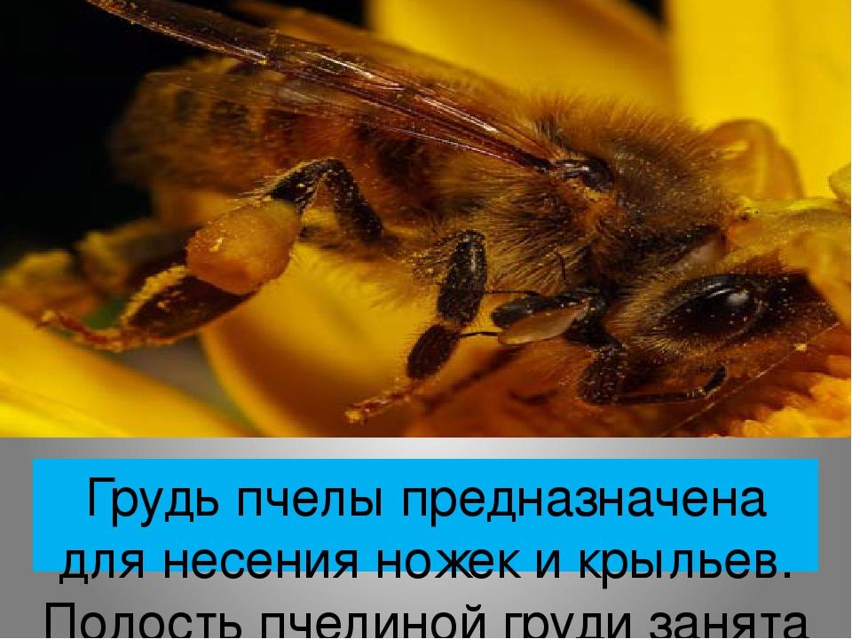 Грудь пчелы предназначена для несения ножек и крыльев. Полость пчелиной груди занята мышцами, приводящими в движение голову, две пары крыльев, три ...