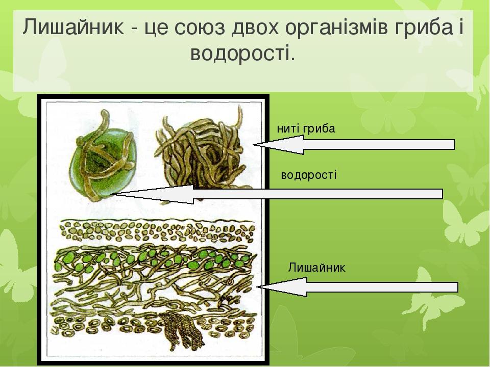 ниті гриба водорості Лишайник Лишайник - це союз двох організмів гриба і водорості.
