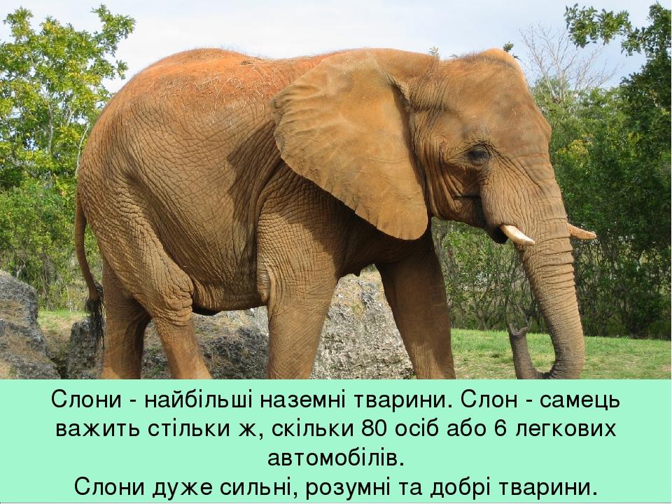Слони - найбільші наземні тварини. Слон - самець важить стільки ж, скільки 80 осіб або 6 легкових автомобілів. Слони дуже сильні, розумні та добрі ...