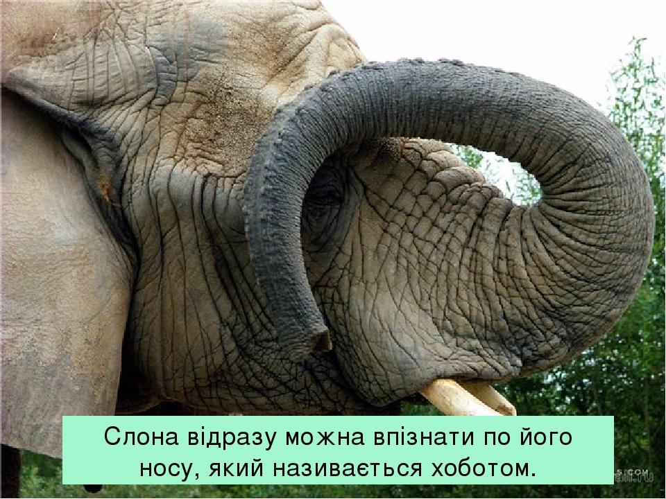 Слона відразу можна впізнати по його носу, який називається хоботом.