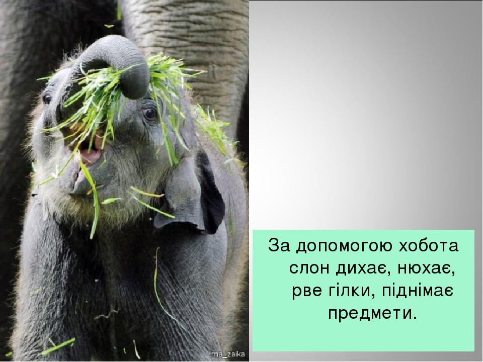 За допомогою хобота слон дихає, нюхає, рве гілки, піднімає предмети.