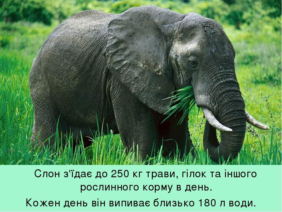Слон з'їдає до 250 кг трави, гілок та іншого рослинного корму в день. Кожен день він випиває близько 180 л води.