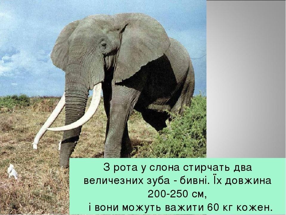 З рота у слона стирчать два величезних зуба - бивні. Їх довжина 200-250 см,  і вони можуть важити 60 кг кожен.