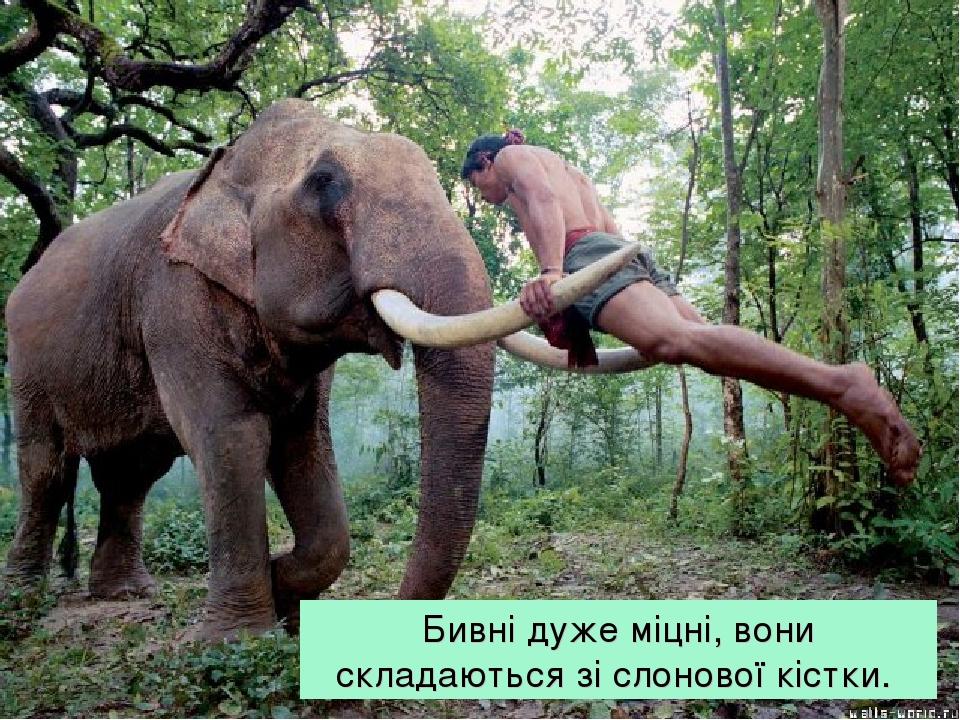 Бивні дуже міцні, вони складаються зі слонової кістки.
