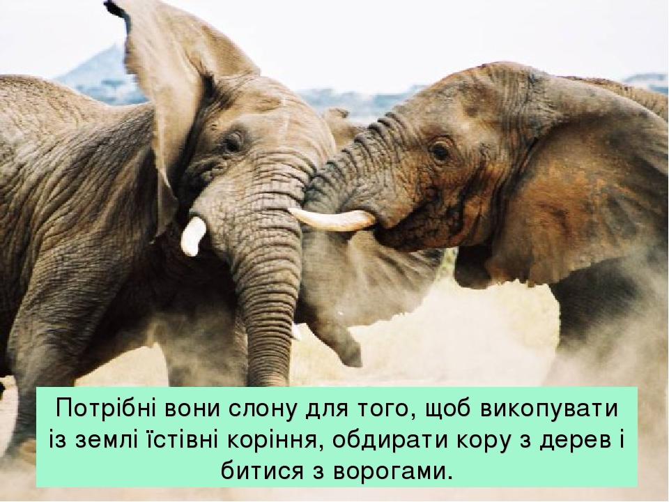 Потрібні вони слону для того, щоб викопувати із землі їстівні коріння, обдирати кору з дерев і битися з ворогами.