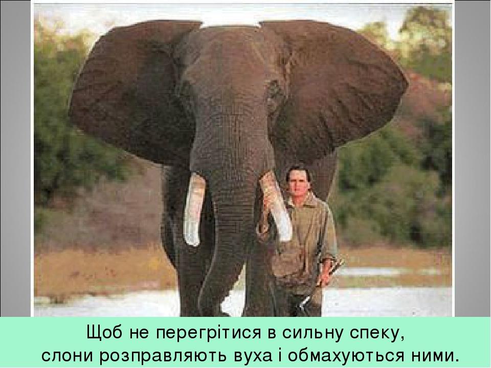 Щоб не перегрітися в сильну спеку,  слони розправляють вуха і обмахуються ними.