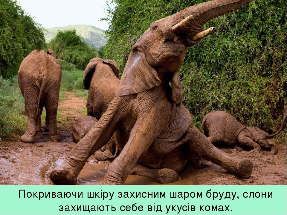 Покриваючи шкіру захисним шаром бруду, слони захищають себе від укусів комах.