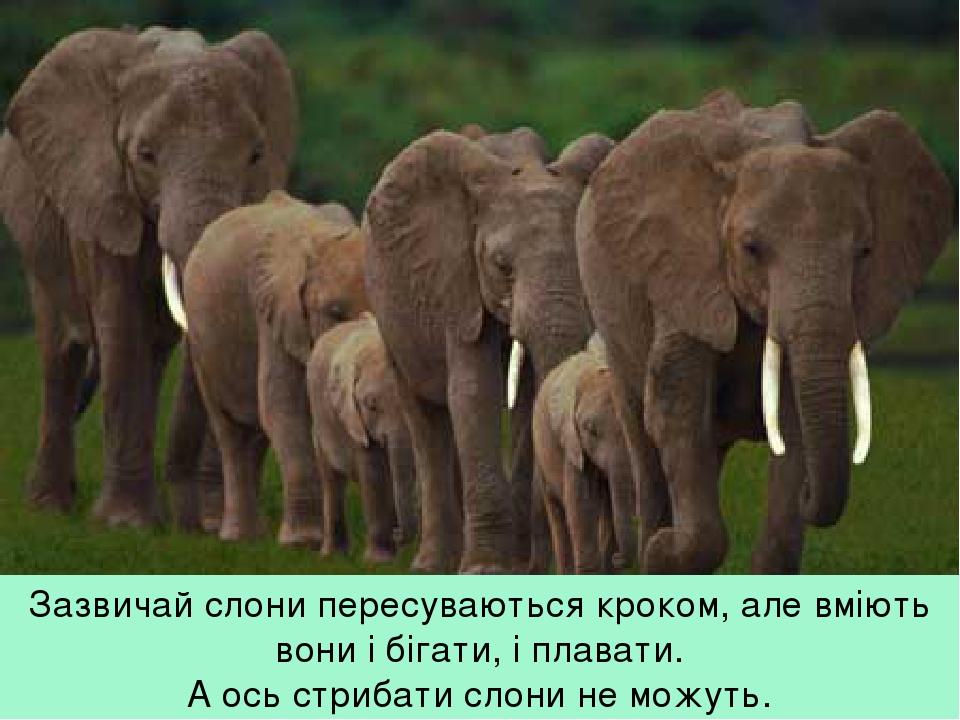 Зазвичай слони пересуваються кроком, але вміють вони і бігати, і плавати. А ось стрибати слони не можуть.
