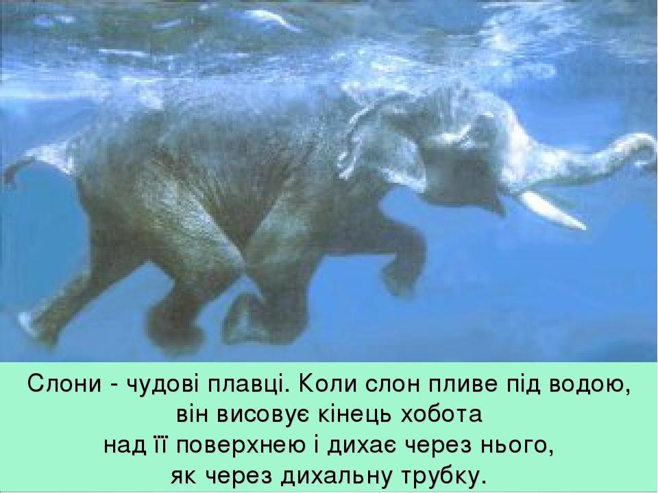 Слони - чудові плавці. Коли слон пливе під водою, він висовує кінець хобота над її поверхнею і дихає через нього, як через дихальну трубку.