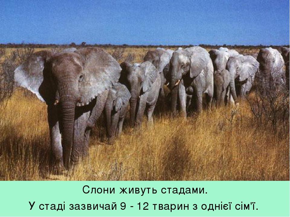 Слони живуть стадами. У стаді зазвичай 9 - 12 тварин з однієї сім'ї.