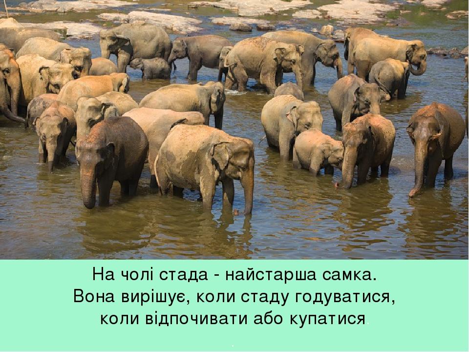 На чолі стада - найстарша самка. Вона вирішує, коли стаду годуватися, коли відпочивати або купатися. .
