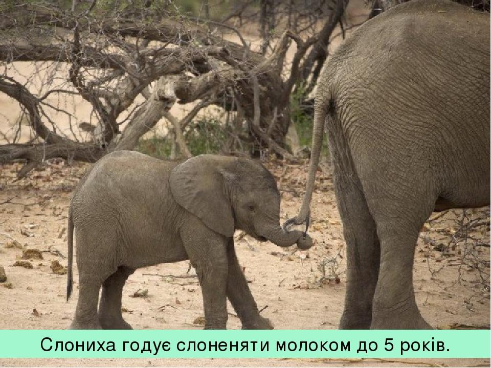 Слониха годує слоненяти молоком до 5 років.