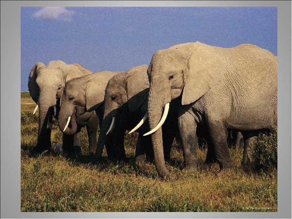 Життя слонів під загрозою! Чисельність найбільших ссавців на планеті скорочується. Сьогодні в світі налічується близько  500 000 слонів. В Африці,...