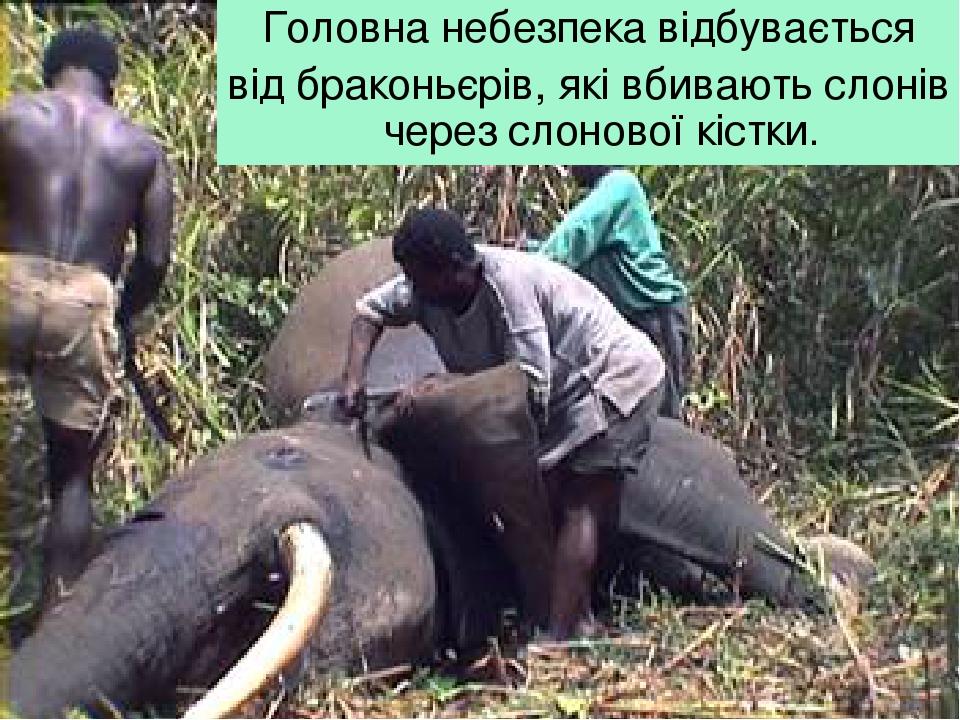 Головна небезпека відбувається від браконьєрів, які вбивають слонів через слонової кістки.