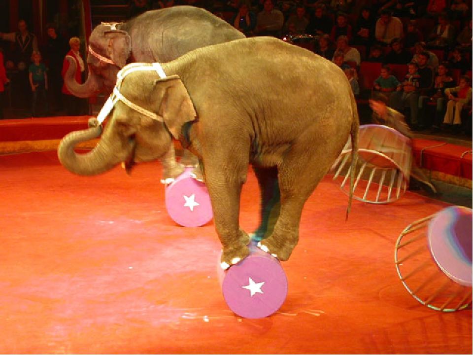 У багатьох зоопарках і цирках жорстоко поводяться зі слонами, змушуючи їх коритися із застосуванням сталевих гаків з гострими наконечниками (загнут...