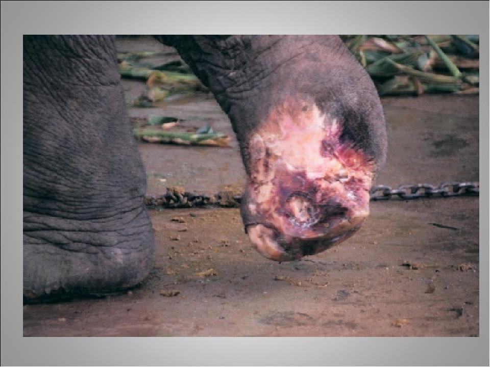Слони гинуть і калічаться від протипіхотних мін при перетині кордону. У Бірмі серйозно постраждали чотири сірих велетня. На щастя, поранені тварини...