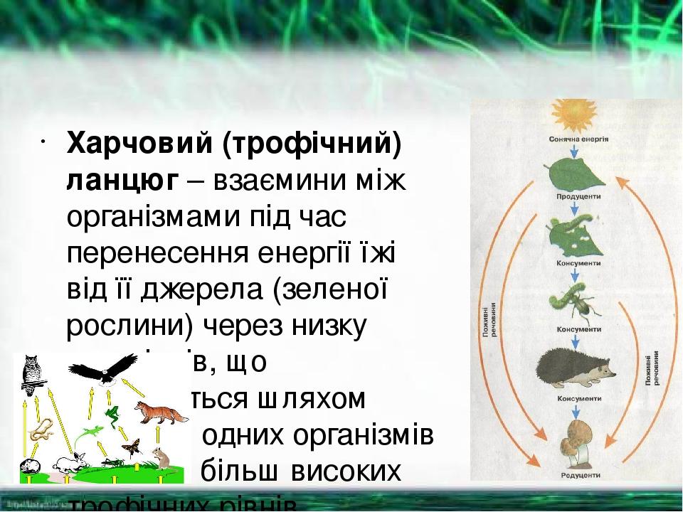 Харчовий (трофічний) ланцюг – взаємини між організмами під час перенесення енергії їжі від її джерела (зеленої рослини) через низку організмів, що ...