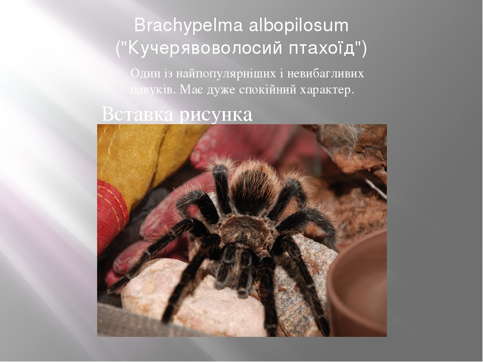 """Brachypelma albopilosum (""""Кучерявоволосий птахоїд"""") Один із найпопулярніших і невибагливих павуків. Має дуже спокійний характер."""