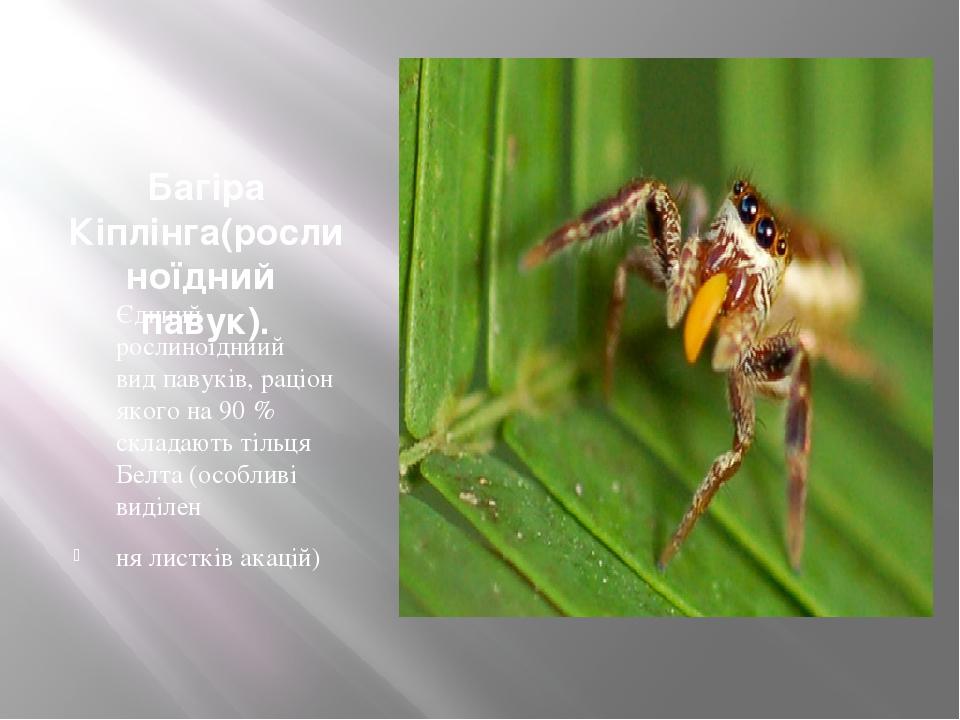 Багіра Кіплінга(рослиноїдний павук). Єдиний рослиноїдниий видпавуків, раціон якого на 90% складають тільця Белта (особливі виділен ня листків ака...