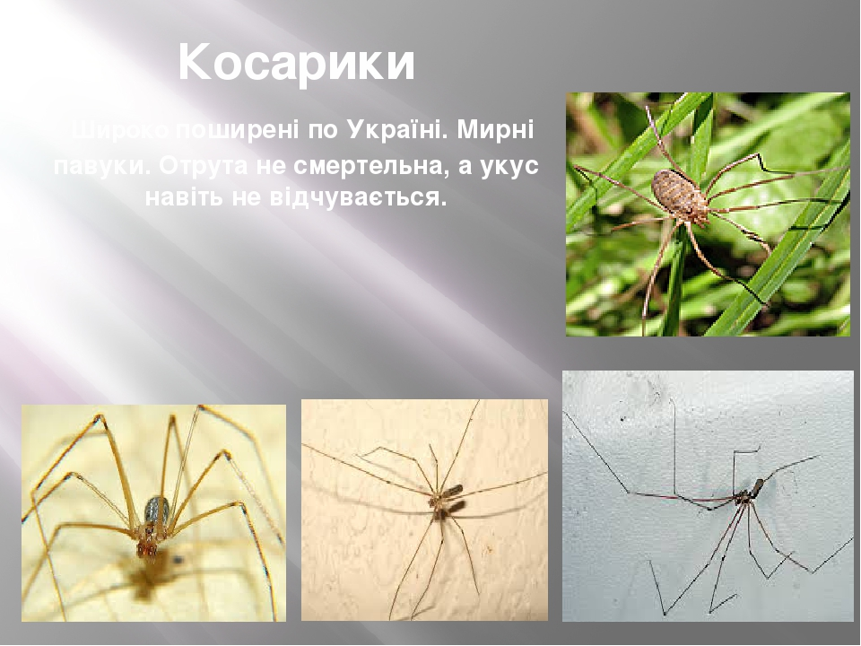 Косарики Широко поширені по Україні. Мирні павуки. Отрута не смертельна, а укус навіть не відчувається.