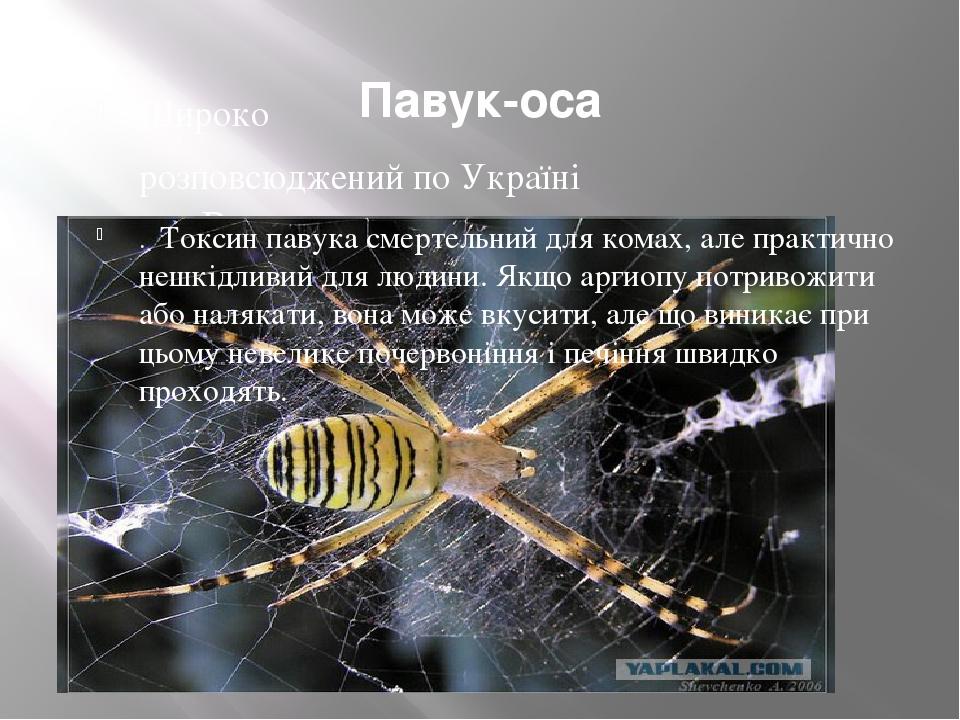 Павук-оса Широко розповсюджений по Україні . Токсин павука смертельний для комах, але практично нешкідливий для людини. Якщо аргиопу потривожити а...