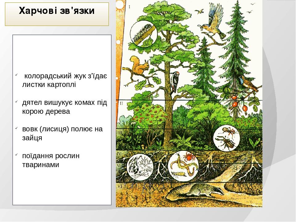 Харчові зв'язки колорадський жук з'їдає листки картоплі дятел вишукує комах під корою дерева вовк (лисиця) полює на зайця поїдання рослин тваринами