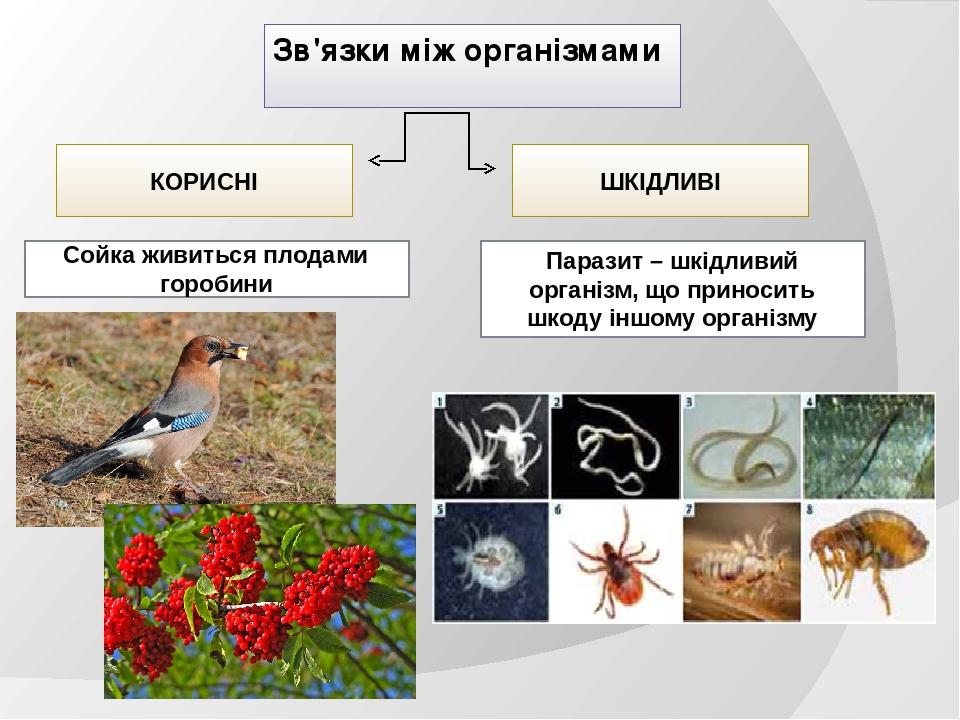 Зв'язки між організмами КОРИСНІ ШКІДЛИВІ Сойка живиться плодами горобини Паразит – шкідливий організм, що приносить шкоду іншому організму