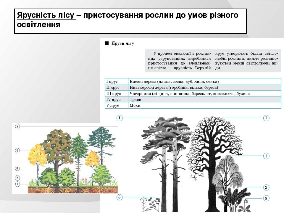 Ярусність лісу – пристосування рослин до умов різного освітлення