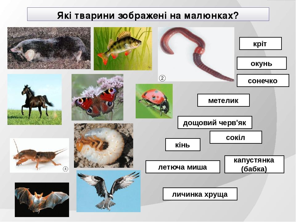Які тварини зображені на малюнках? кріт окунь сонечко кінь капустянка (бабка) личинка хруща метелик дощовий черв'як сокіл летюча миша