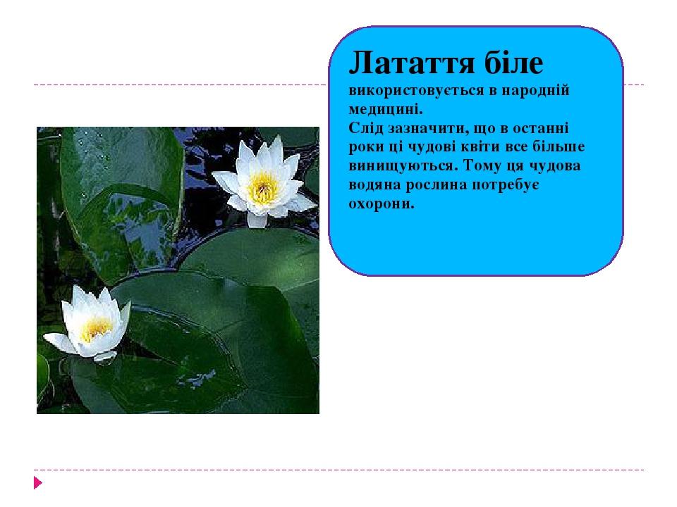 Латаття біле використовується в народній медицині. Слід зазначити, що в останні роки ці чудові квіти все більше винищуються. Тому ця чудова водяна ...
