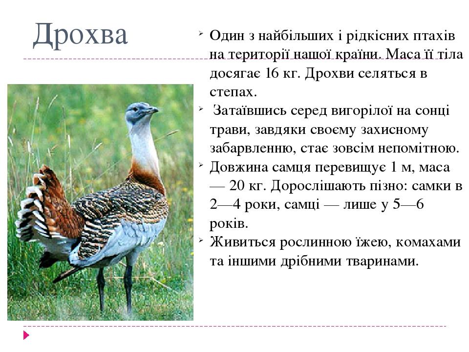 Дрохва Один з найбільших і рідкісних птахів на території нашої країни. Маса її тіла досягає 16 кг. Дрохви селяться в степах. Затаївшись серед вигор...