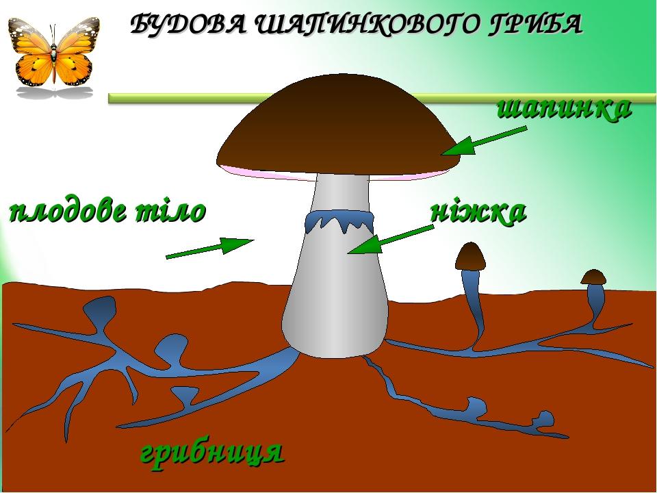 шапинка грибниця плодове тіло ніжка БУДОВА ШАПИНКОВОГО ГРИБА