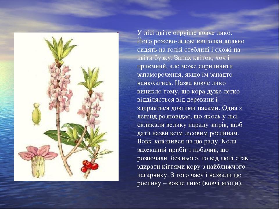 У лісі цвіте отруйне вовче лико. Його рожево-лілові квіточки щільно сидять на голій стеблині і схожі на квіти бузку. Запах квіток, хоч і приємний, ...