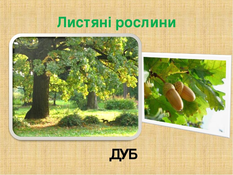 Листяні рослини ДУБ