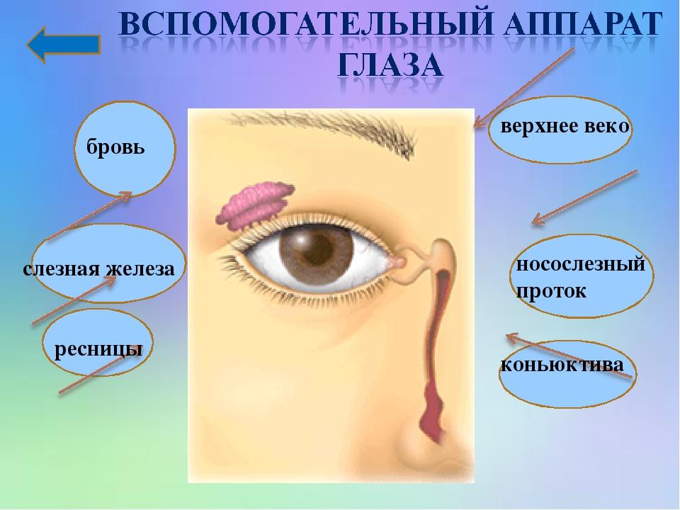 бровь слезная железа ресницы носослезный проток верхнее веко коньюктива