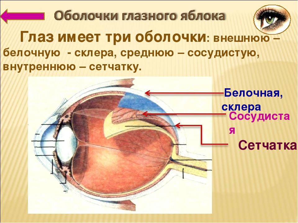 Глаз имеет три оболочки: внешнюю – белочную - склера, среднюю – сосудистую, внутреннюю – сетчатку. Белочная, склера Сосудистая Сетчатка
