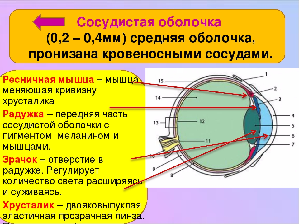Сосудистая оболочка (0,2 – 0,4мм) средняя оболочка, пронизана кровеносными сосудами. Ресничная мышца – мышца, меняющая кривизну хрусталика Радужка ...
